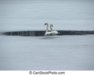 Waiting For Spring - A pair of mated swans, arrived a bit...