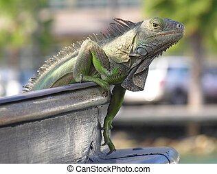 Climbing - An iguana climbing on a ship