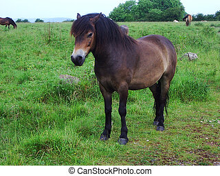 'Wild' Horse - Roaming pony on Somerset moors