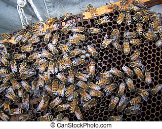 Bee Hive showing Queen and workers