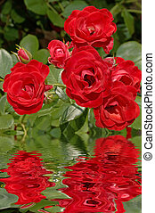 Rose Reflections - Red rose reflections 12MP camera