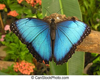 Blue Nature - Large blue butterfly Morpho sitting on a root...