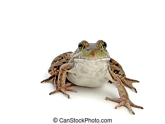 Wood Frog 2 - Wood Frog, Rana Sylvatica macro, isolated,...