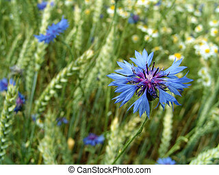 cornflower - at the edge of a crop field