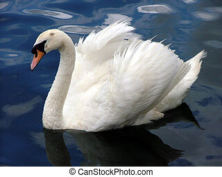 swan - white swan with wings open