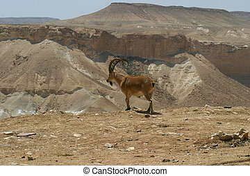 Ibex Negev Desert Israel - Wildlife in the Negev desert...