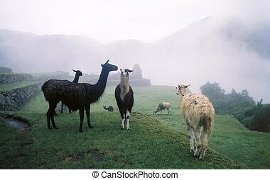 Llamas in the mist - A group of Llamas near Machu Picchu in...