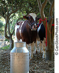 Cow for milking - Cow waiting to be milked