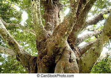 桉樹, 樹