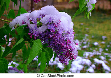 Snow covered Lilacs - Late spring storm covers lilacs with...