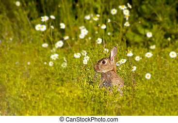 wild rabbit 2 - Scottish wild rabbit, early evening june...