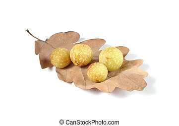 Cherry Galls - Cherry galls on oak leaf, caused by gall-wasp...