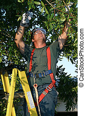 Tree Surgeon - a tree surgeon on a ladder, trimming a tree.