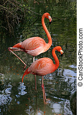 Flamigo Couple - two bright pink flamingos wading in a pond.