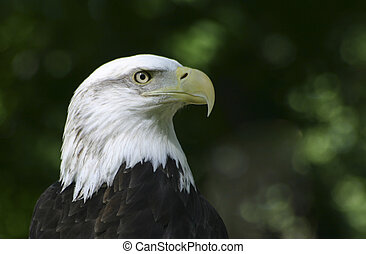 Proud Bald Eagle - Bald Eagle at the Tracey Aviary in Salt...
