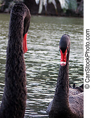 black swans facing eachother