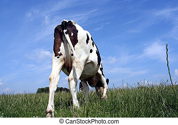 grazing cow - A grazing cow in pasture: picture taken from...