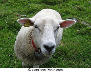 Curious sheep - A curous sheep looking into the camera The...
