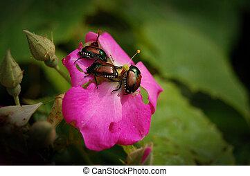japonés, escarabajos