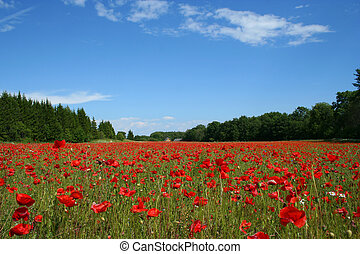 Field of poppies - Field of red poppies with houses in...