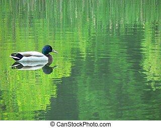 Mallard Reflection - Mallard reflecting on foliage...