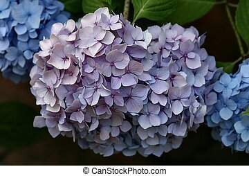 Hydrangea - Purple and blue Hydrangea in a garden