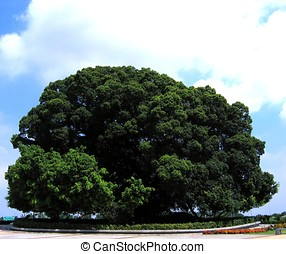 Enormous Banyan Tree - -- with aerial roots and secondary...