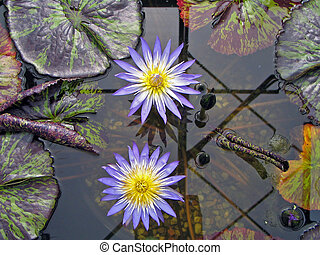 Blue waterlily - Light blue tropical waterlily