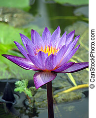 Purple lotus in bloom - Blooming purple lotus waterlily