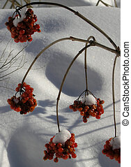 Winter red berry - The red berry under the snow in the...