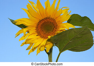 the sunflower - sunflower