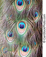 Bird-peacock feather - Peacock feathers