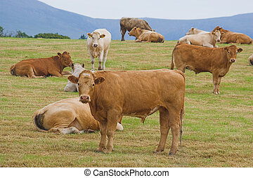 A herd of young bulls look curiously at the camera
