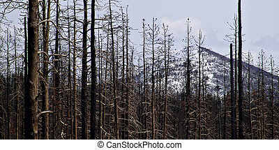 forest fire damage in yellowstone