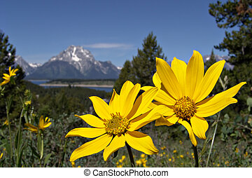 grand tetons in the spring - yellow flowers with the grand...