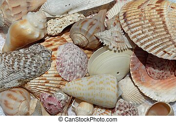 Beach Shells - Beach shells collected from Ft. Myers Beach,...
