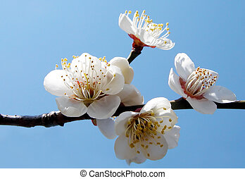 Plum Inflorescence - Plum flowers over the blue sky
