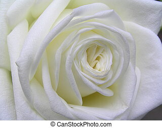 pure white rose - macro shot of a very bright white rose
