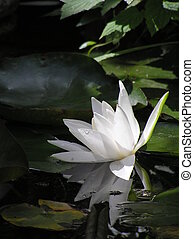 reflected waterlily - photograph of a very beautiful...