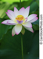 Lotus Flower - lotus bloom