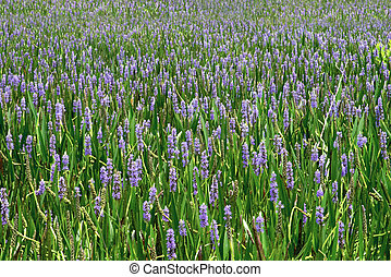 Sea Of Purple 1 - A sea of purple flowers stretching to the...