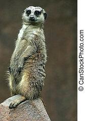 What! - A meerkat standing watch.