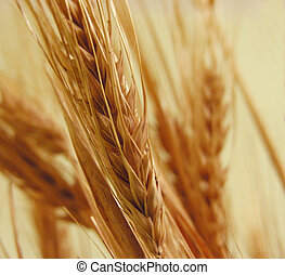 Wheat - Dried wheat