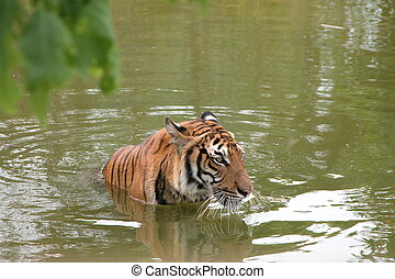 Tiger cooling off in water