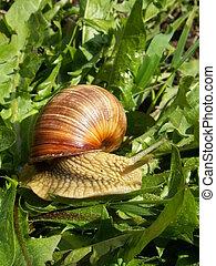 snail - grape snail