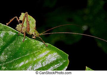 Green Katydid - Katydid, Ecuador, in Kapawi, Pastaze river,...
