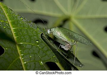 Katydid-Ecuador - Katydid, in Ecuador, near Kapawi area, a...