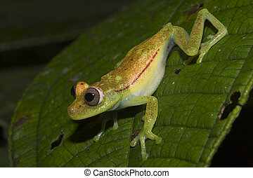 Green Frog about to jump - Green Frog, Ecuador, Amazon...
