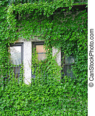 Ivy - ivy covered apartment windows in cambridge,...