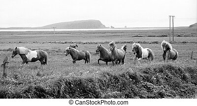Icelandic horses galloping, a rare pony-like species only...